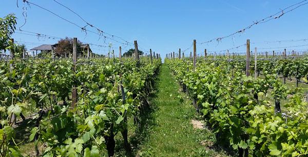 чешские виноградники
